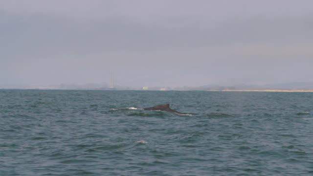 vidéos et rushes de slow motion: humpback whale dives in sea at monterey against sky - monterey, california - nageoire dorsale
