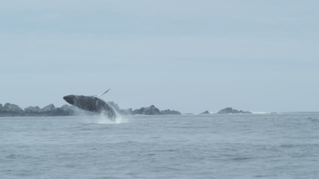 Slow motion humpback whale jumps fully out of water, Alaska, 2011
