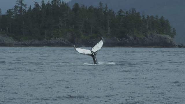 vídeos y material grabado en eventos de stock de slow motion humpback whale tail out of water, alaska, 2011 - cola parte del cuerpo animal