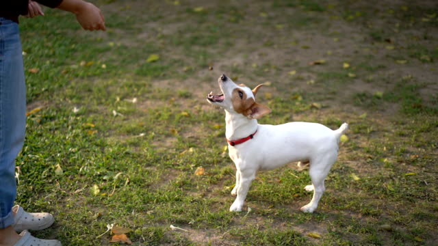 slow motion jack russell terrier jump and catch treat mid-air - jack russell terrier stock videos & royalty-free footage