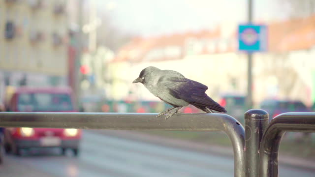 slow motion: jackdaw and car