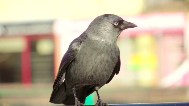 slow motion: jackdaw fly away