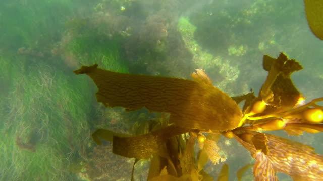 Slow Motion: Kelp swaying at the Ocean Floor Bottom
