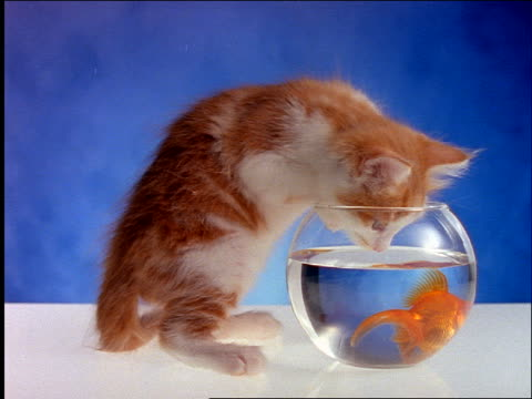 slow motion kitten sticking nose into goldfish bowl / blue background