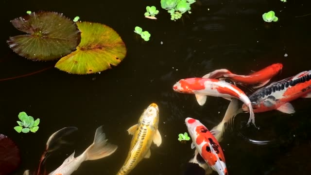 slow motion koi fish in pond with lily pads - koi carp stock videos & royalty-free footage