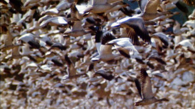 slow motion large flock of geese taking off - oca uccello d'acqua dolce video stock e b–roll