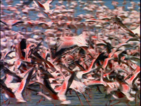slow motion pan large flock of pink flamingos taking off from water - aquatic organism stock videos & royalty-free footage