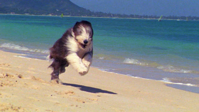 slow motion PAN large shaggy dog (bearded collie) running on beach / Hawaii