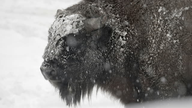 slow motion lockdown of a bison licking its muzzle and standing in a snow storm, with a white winter background - erfurt, germany - 突き出た鼻点の映像素材/bロール