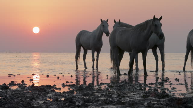 slow motion lockdown shot of white horses wading on riverbank against sky at sunset - camargue, france - cavalry stock videos & royalty-free footage