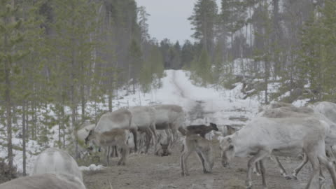 slow motion long shot of a herd of reindeer. - finland stock videos & royalty-free footage