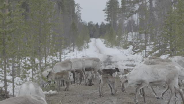 Slow motion long shot of a herd of reindeer.