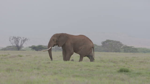 Slow motion long shot of an African elephant wandering across the Lewa Wildlife Conservancy, Kenya.