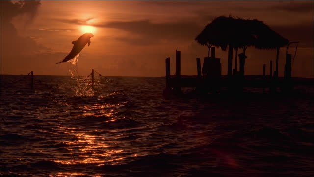 slow motion long shot silhouette of dolphin jumping out of the water at sunset / nassau, bahamas - aquatic organism stock videos & royalty-free footage