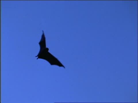 slow motion low angle bat flying overhead / blue sky in background