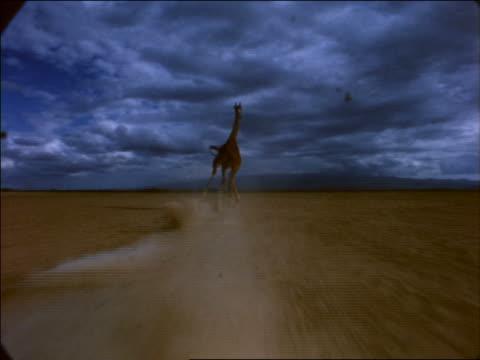 slow motion low angle point of view toward giraffe running across desert plain / cloudy sky / africa - pflanzenfressend stock-videos und b-roll-filmmaterial