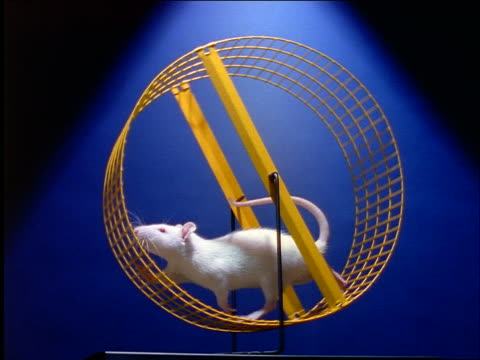 slow motion low angle white rat running in wheel / blue background - wheel stock videos and b-roll footage