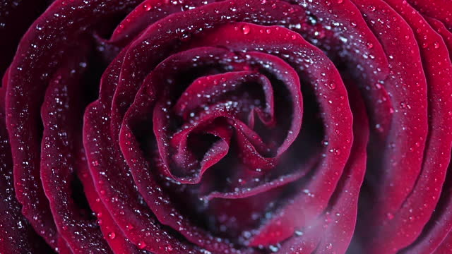 slow motion macro view of water spray on the red color rose's petals - rose stock videos & royalty-free footage