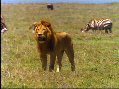 slow motion male lion walking on plain / tilt down PAN close up second male lion walking / zebras in background / Africa