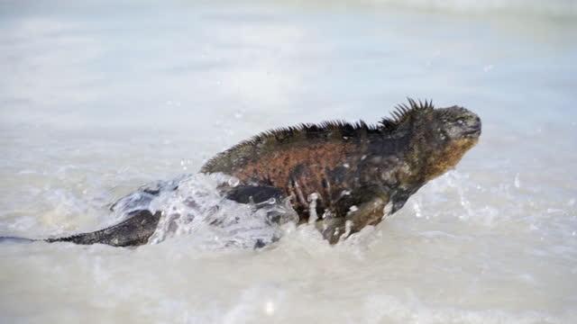 slow motion: marine iguana splashes across gentle surf towards deeper water - galapagos islands, ecuador - south pacific ocean stock videos & royalty-free footage
