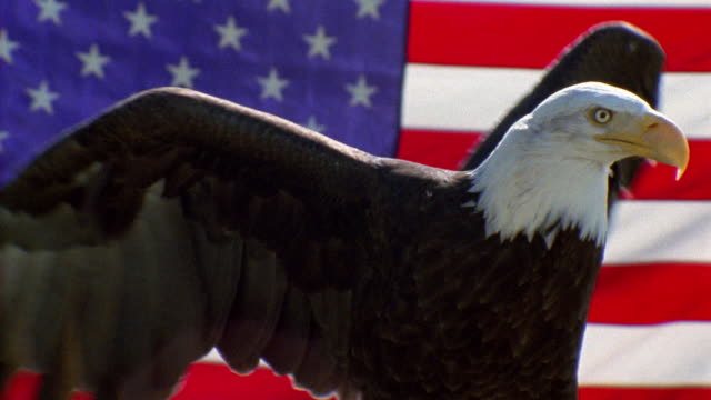 vídeos de stock e filmes b-roll de slow motion medium shot bald eagle taking off with american flag in background - patriotismo