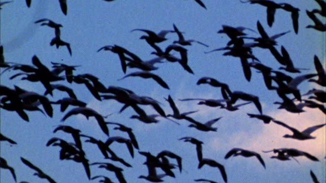 Slow motion medium shot flock of geese flying in blue skies