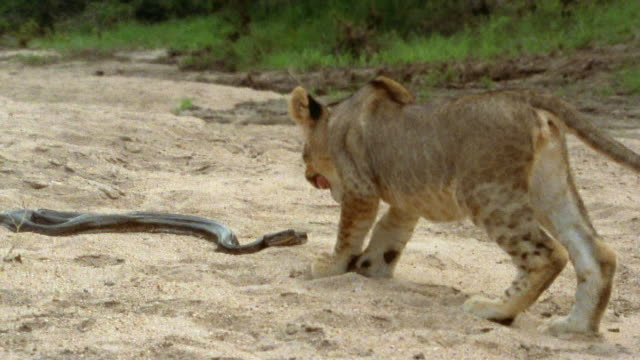 Slow motion medium shot lion cub approaching python / python striking and biting lion on the nose / Africa