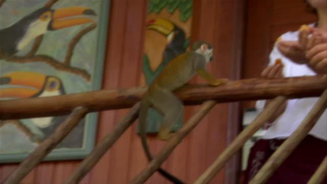 vidéos et rushes de slow motion medium shot pan couple feeding orange to squirrel monkey/ pan portrait couple at ecolodge/ the amazon, brazil - petit groupe d'animaux