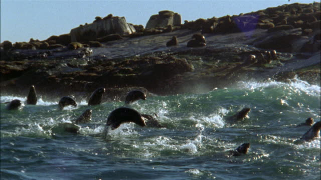 slow motion medium shot seals porpoising in white water along rocky coast / capetown, south africa - seal animal stock videos & royalty-free footage