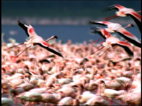 Slow motion medium shot tracking shot four flamingos land among flocks of flamingos at shore of Lake Nakuru / Kenya