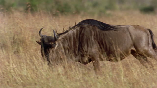 slow motion medium shot tracking shot side view of wildebeest running across plain / africa - wildebeest stock videos & royalty-free footage