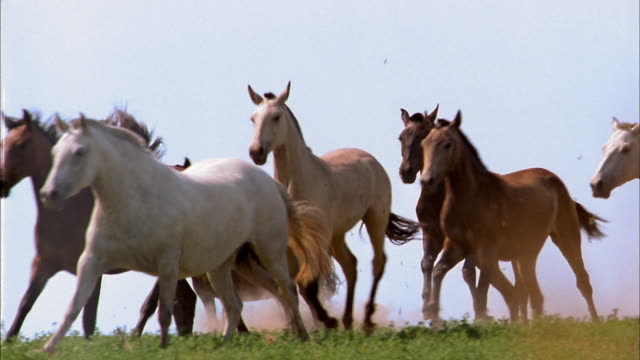 Slow motion medium shot tracking shot side view pack of horses running in field