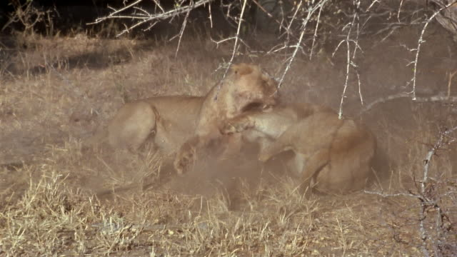 Slow motion medium shot two lionesses fighting / kicking up dust / Africa