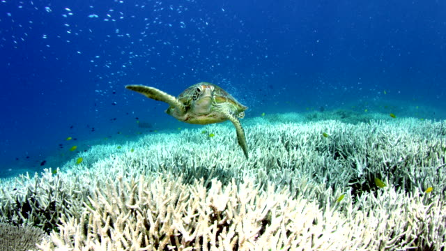 Slow motion mid shot of Sea Turtle swimming over bleached coral reef