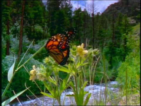 slow motion monarch butterfly sitting on plant opening wings / forest + stream in background - gespreizte flügel stock-videos und b-roll-filmmaterial