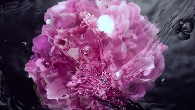 slow motion movement of waves and ripples on water surface with a submerged rotating pink peony head on black background - flower stock videos & royalty-free footage