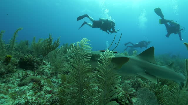 slow motion: nurse shark swimming over plants by scuba divers - belize city, belize - aqualung diving equipment stock videos & royalty-free footage