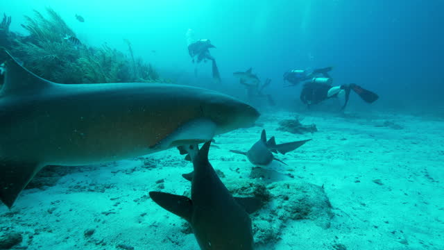 slow motion: nurse sharks swimming near scuba divers by coral - belize city, belize - aqualung diving equipment stock videos & royalty-free footage