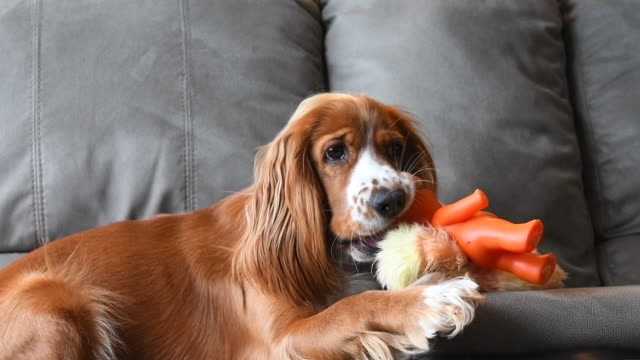 slow motion of a cocker spaniel pet dog playing over a couch - spaniel stock videos and b-roll footage