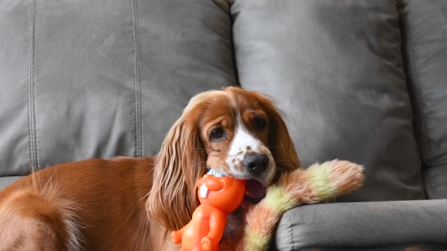 slow motion of a cute cocker spaniel dog playing on a sofa - spaniel stock videos and b-roll footage