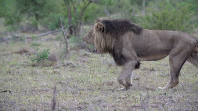 slow motion of a dark-maned male lion walks through a grassland, kruger national park, south africa - male animal stock videos & royalty-free footage