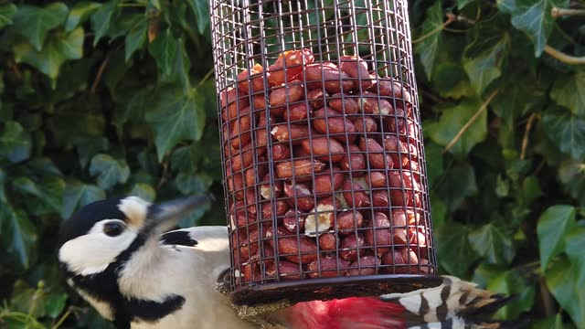 slow motion of a female great spotted woodpecker feeding on peanuts from a cage feeder . - anatomy stock videos & royalty-free footage