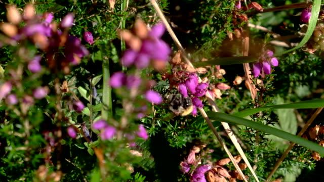 vídeos de stock e filmes b-roll de slow motion of a flying bee pollinating - criação animal