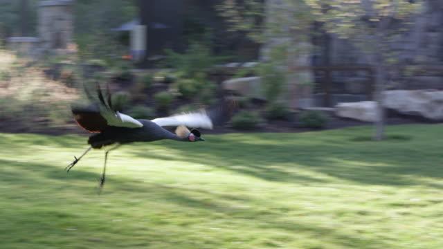 slow motion of a grey crowned crane taking flight - 動物の脚点の映像素材/bロール