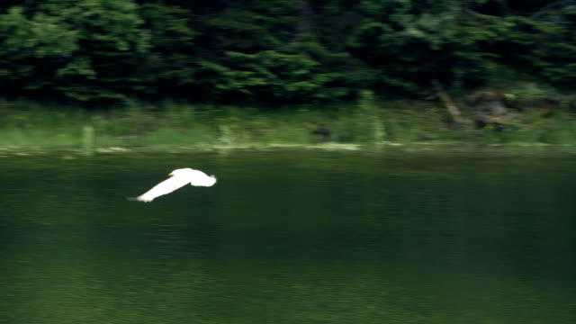Slow motion of a seagull closeup flying over a lake
