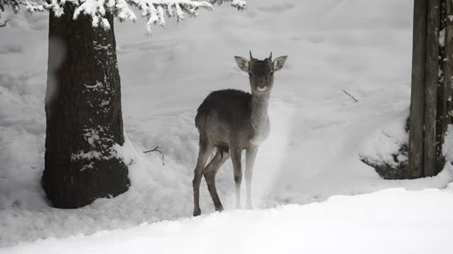 slow motion of a wild baby deer standing a in a snow covered pine forest and looking straight into the camera - erfurt, germany - pine woodland stock videos & royalty-free footage