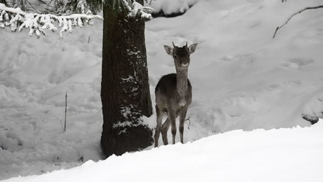 slow motion of a wild baby deer standing a in a snow covered pine forest, raising his head and looking straight into the camera - erfurt, germany - pine woodland stock videos & royalty-free footage
