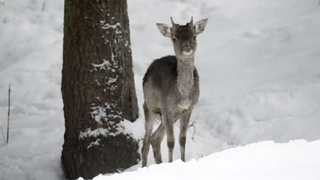 slow motion of a wild male baby deer standing a in a snow covered pine forest, raising his head and looking straight into the camera - erfurt, germany - pine woodland stock videos & royalty-free footage