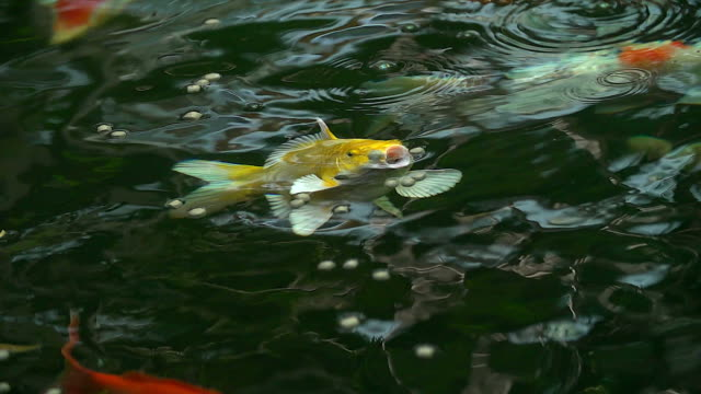 Slow motion of Beautiful koi fish swimming and eating food in the pond.