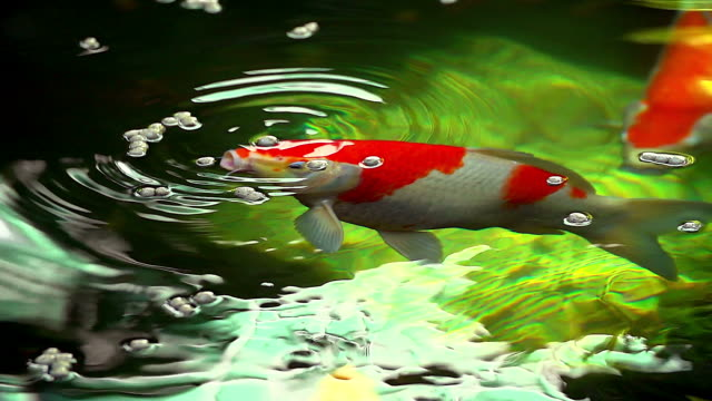 slow motion of beautiful koi fish swimming and eating food in the pond. - koi carp stock videos & royalty-free footage